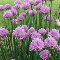 Allium schoenoprasum 600x800