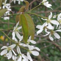 Amelanchier_canadensis 450x600
