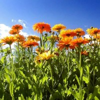 Calendula officinalis 450x600