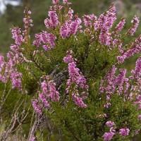 Calluna vulgaris 450x600