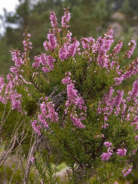 Calluna vulgaris bee happy plants for Calluna vulgaris