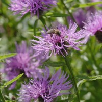 Greater Knapweed (Centaurea scabiosa) and Honey Bee