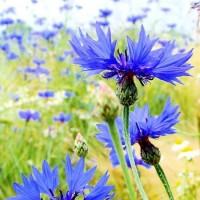 Centaurea_cyanus_450x600
