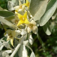 Elaeagnus_angustifolia_450x600