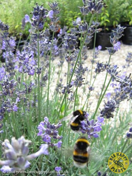 lavandula angustifolia munstead bee happy plants. Black Bedroom Furniture Sets. Home Design Ideas