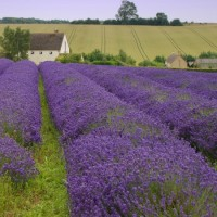 Lavender old english 450x600