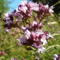 Origanum vulgare hirtum website 450x600