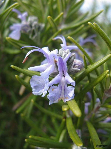 نتیجه تصویری برای Rosmarinus officinalis