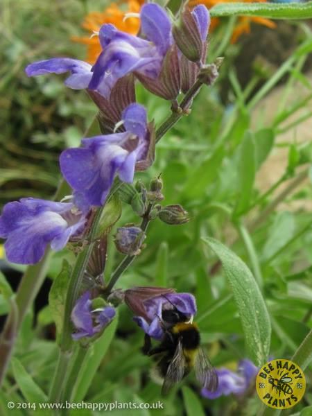 salvia officinalis bee happy plants. Black Bedroom Furniture Sets. Home Design Ideas