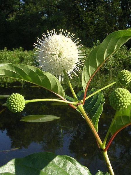 Cephalanthus Occidentalis Bee Happy Plants