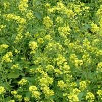 White_Mustard_Flowers